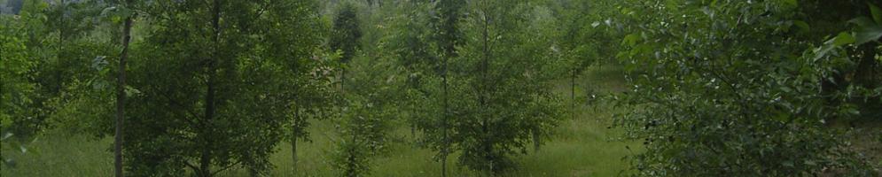 arboricoltura da legno